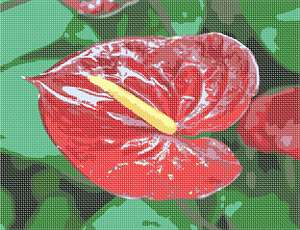 The anthurium plant is grown as a houseplant in cooler areas and as a landscaping plant.