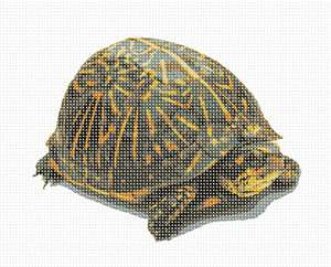 The Florida box turtle has a narrow and highly domed shell, with a distinct pattern of bright radiating yellow-green stripes.
