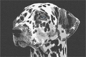 A Dalmatian up close. Notice the blue irises