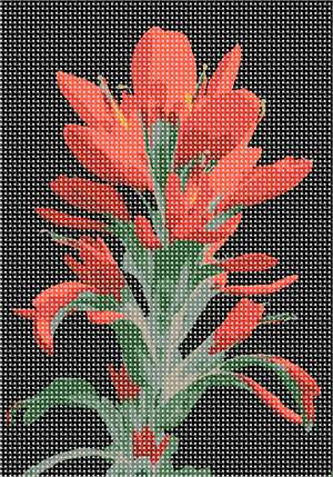 The beautiful Castilleja, commonly known as Indian paintbrush or prairie-fire, against a black background.