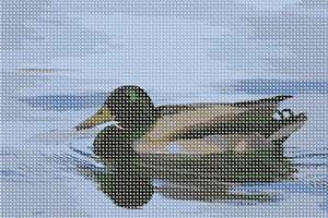 Male Mallard or drake, featuring an unmistakable green head atop a white neckband that sets off a chestnut-colored chest and gray body.