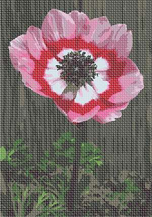 Anemone flower in variegated shades of pinks