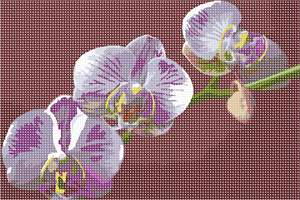 Moth orchid on red background.