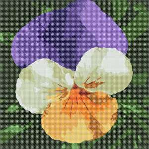 Tri color pansies close up