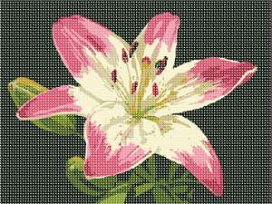 Fragile petals outstretched to bask in the warm sun, a pink lily with an off-white center draws admiration.