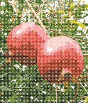 A pair of ripe pomegranates swinging from a tree branch.