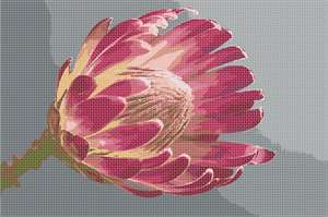 A protea flower in all her glory