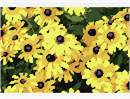Black Eyed Susan (Large)