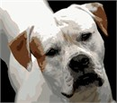 The American bulldog is a stocky, well built, strong-looking dog, with a large head and a muscular build. Its coat is short and generally smooth.