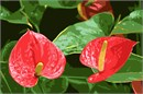 Anthurium Flamingo Flowers