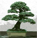 A small, shaped tree, carefully cultivated over many years. Bonsai is a Japanese art form using miniature trees.