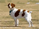 The Brittany is a breed of gun dog bred primarily for bird hunting.