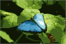 A butterfly in blue resting on a green leaf.