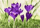 When the crocus blooms, spring is in its infancy