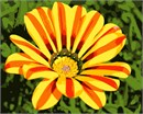 Also known as the African Daisy, it is called a treasure flower.