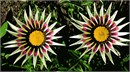 Gazania Side By Side