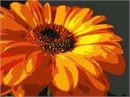 Brilliantly orange, this Gerber Daisy is reminiscent of the morning sun.