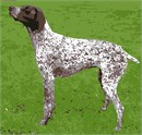 A liver and white German Shorthaired Pointer stands at attention.