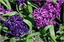 Hyacinths in bloom are a sure sign of spring.  These magenta and violet shades are a beauty.