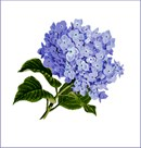 A lavender-blue hydrangea bunch in bloom.  See coordinating pink design.