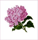 A pink hydrangea bunch in bloom.  See coordinating lavender-blue  design.