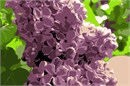 Pungent bunch of fresh lilac flowers against fresh green foliage.
