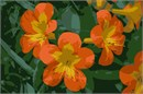 Orange and yellow flowers so vivid and fresh you can almost touch their velvety petals