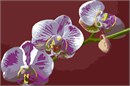 Orchid (Large)