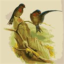 Also called the Hill Swallow, a small bird in the swallow family. Painting by John Gould.