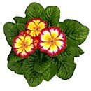 This primrose is ready for spring