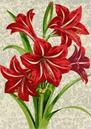 Amaryllis flowers range from 4 to 10 inches in size, and can be either single or double in form. While the most popular colors are red and white, flowers may also be pink, salmon, apricot, rose or deep burgundy. Some varieties are bicolor ...