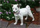 This puppy is a distinct Japanese breed.  This small, agile dog is delightful