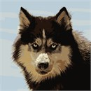 The Siberian Husky is a large size working dog breed that originated in Northeast Asia.