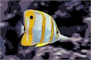 Stunning butterfly fish with the distinctive black spot on its tail.