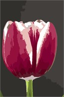 A tulip bulb in bloom.