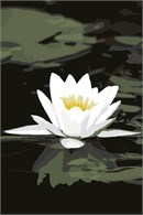 The white petals of this striking aquatic flower stand out against the green reflective surface of the pond.