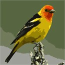 A clear look at a male Western Tanager is like looking at a flame: an orange-red head, brilliant yellow body, and coal-black wings.