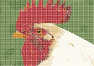 A rooster in white. Check out his red comb.  What a hairdo!